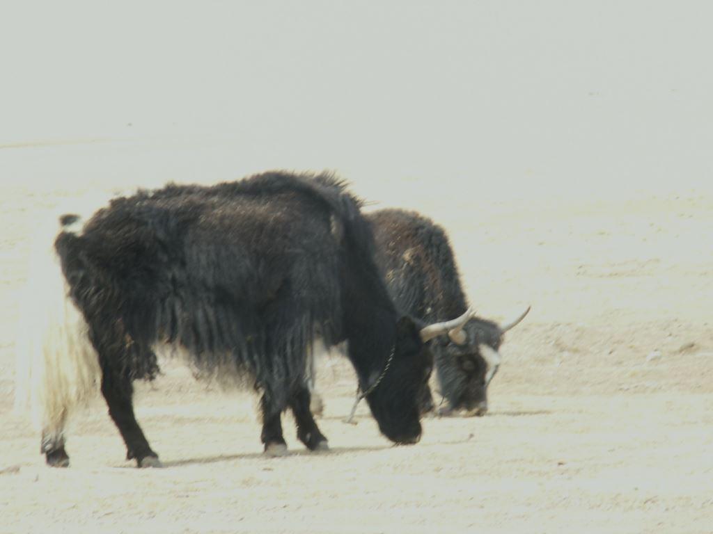 tibet-113